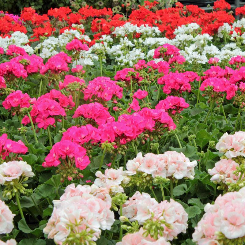 Balkonpflanzen_GartencenterPoetschke_Schwerte Geranien
