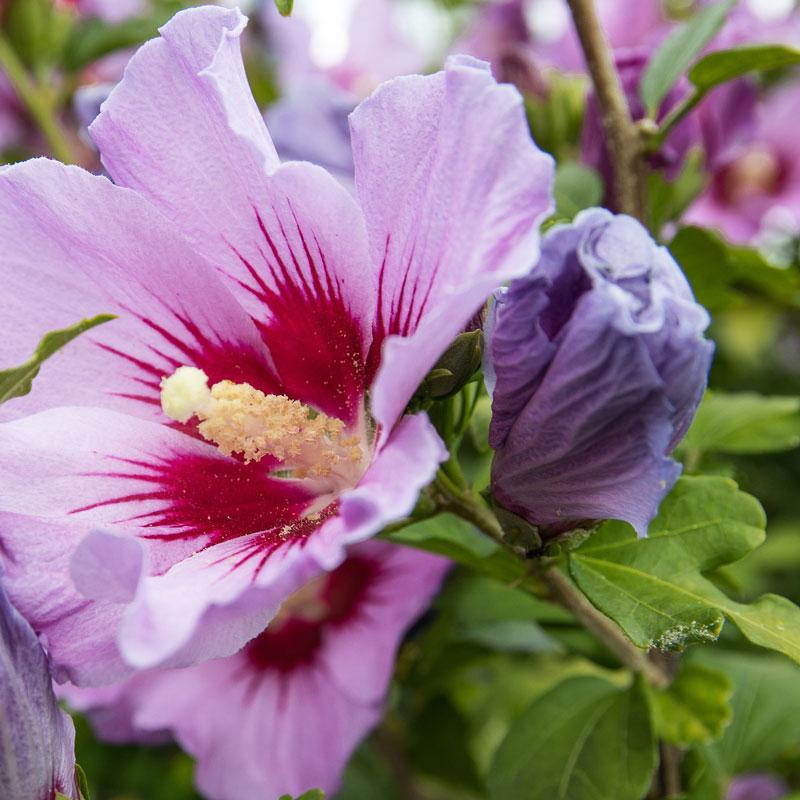 Blühsträucher Gartenhibiscus blühend