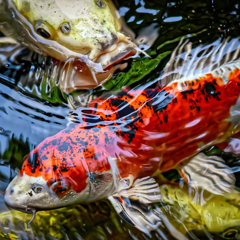 Gartenteich-Teichfische-Koi