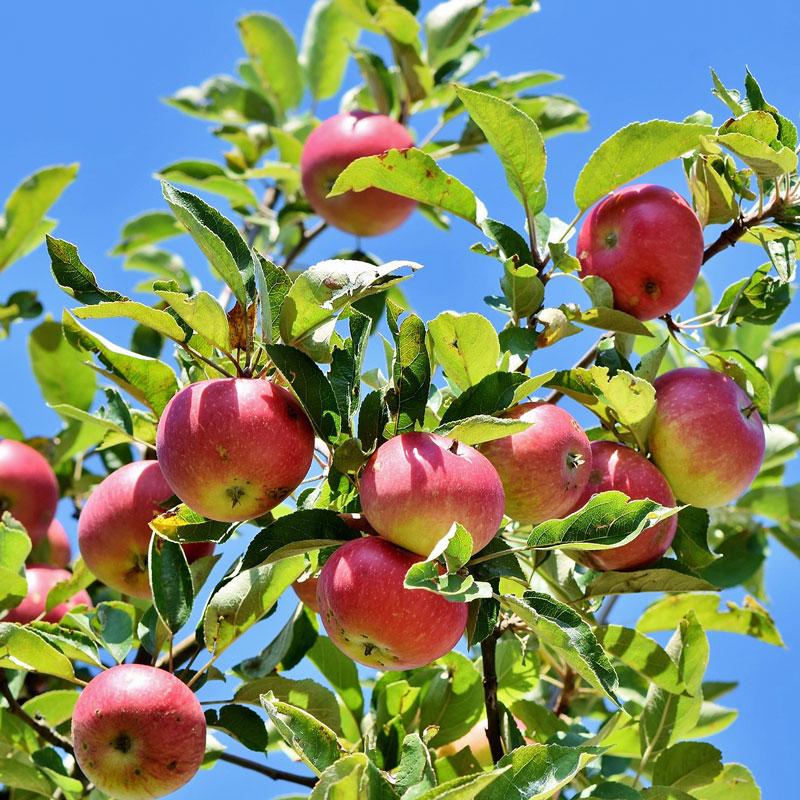 Obstbäume Apfelbaum mit Früchten