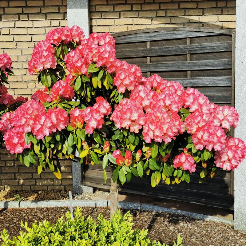 Rhododendron-Gartencenter-Pötschke