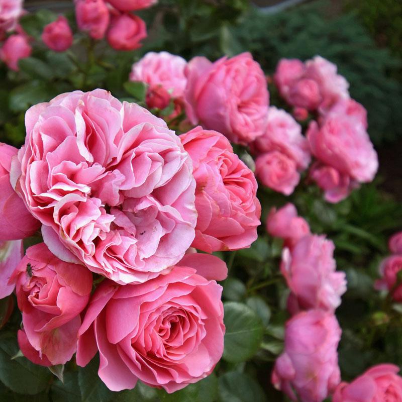 Rosen-im-Gartencenter-Pötschke