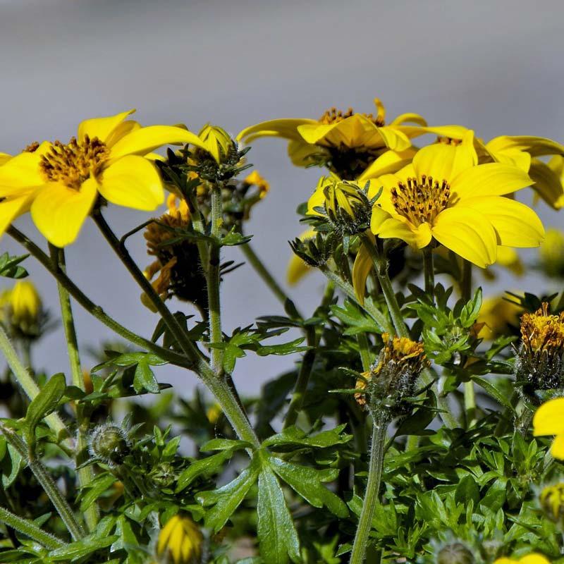 balkonpflanzen-bienenfreundlich-Bidens-goldmarie
