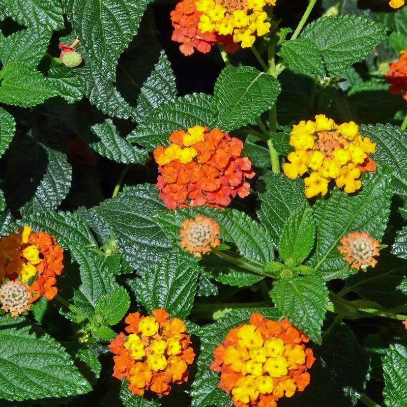 balkonpflanzen-bienenfreundlich-lantane-wandelröschen