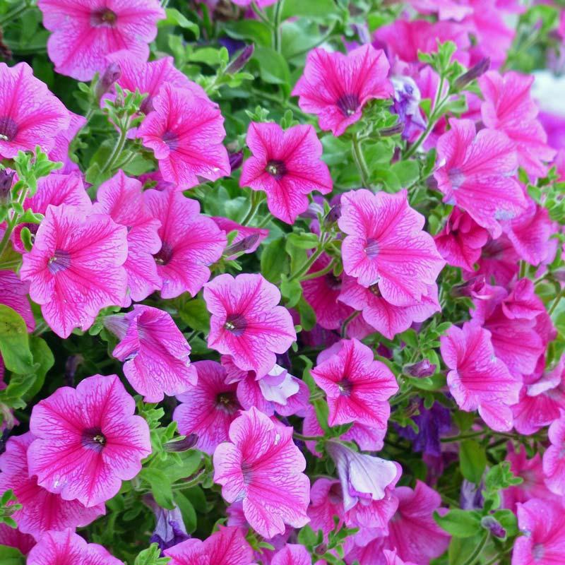 balkonpflanzen-petunie