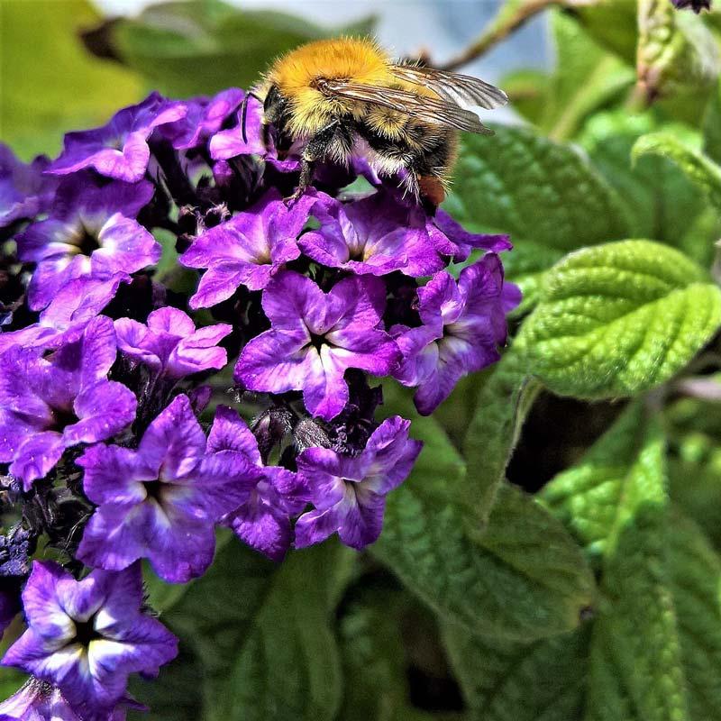 balkonpflanzen-vanilleblume-bienenfreundlich