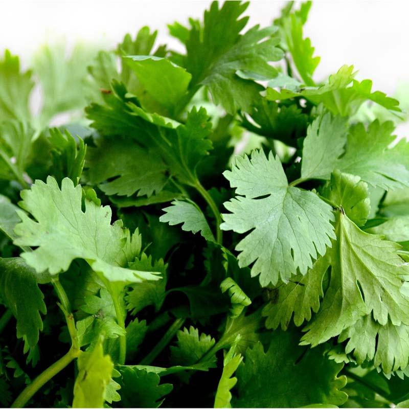 biokräuter-koriander