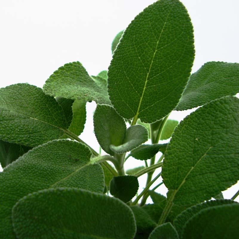 biokräuter-salbei