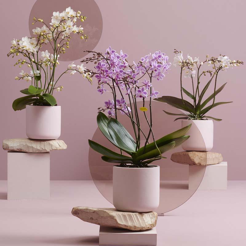 orchideen im topf