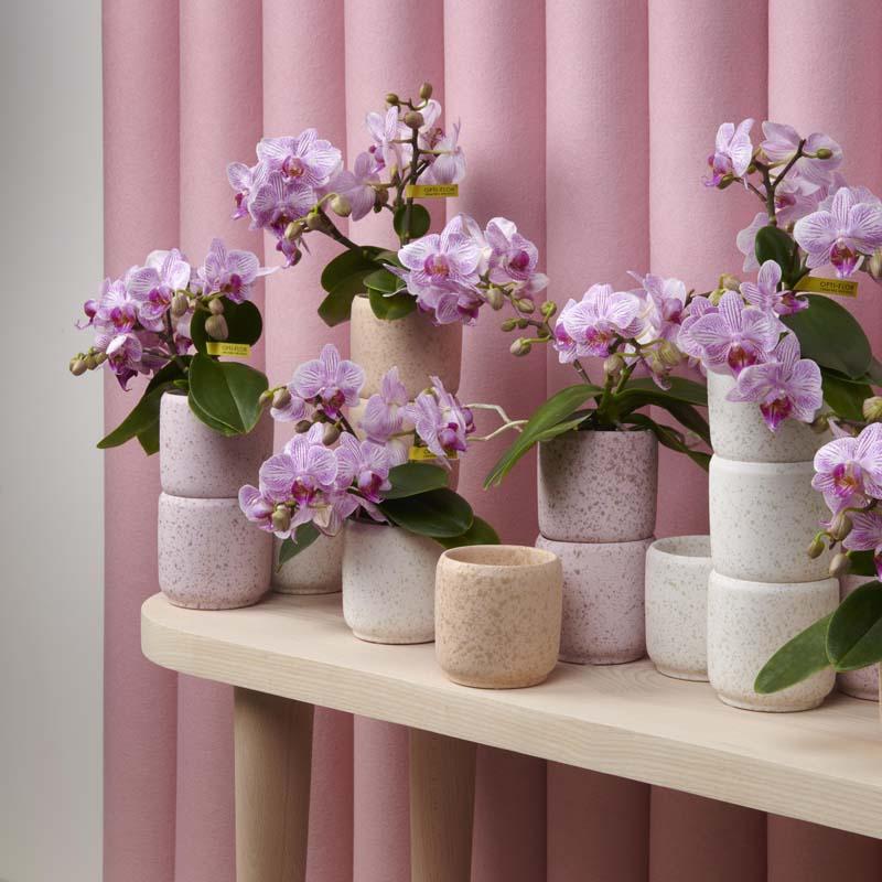 rosa orchideen