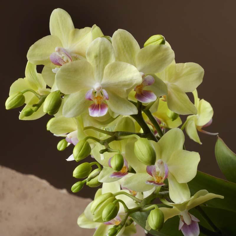 orchidee mit vielen blüten gelb