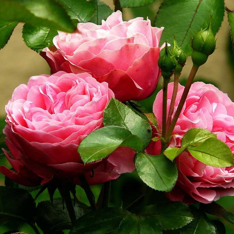 eine rosane Rose mit Knospen