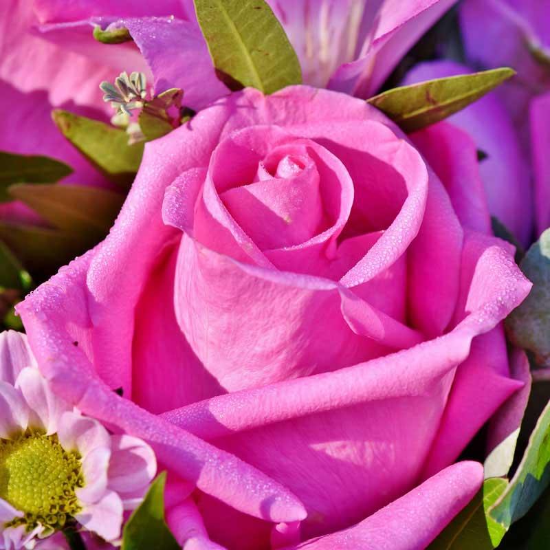 eine kknallpinke rose