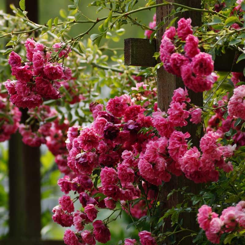 Eine Kletterrosen an einem Rosenbogen