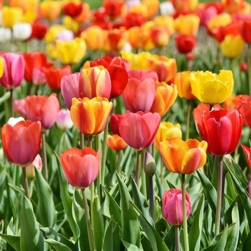 bunte tulpen auf einem feld