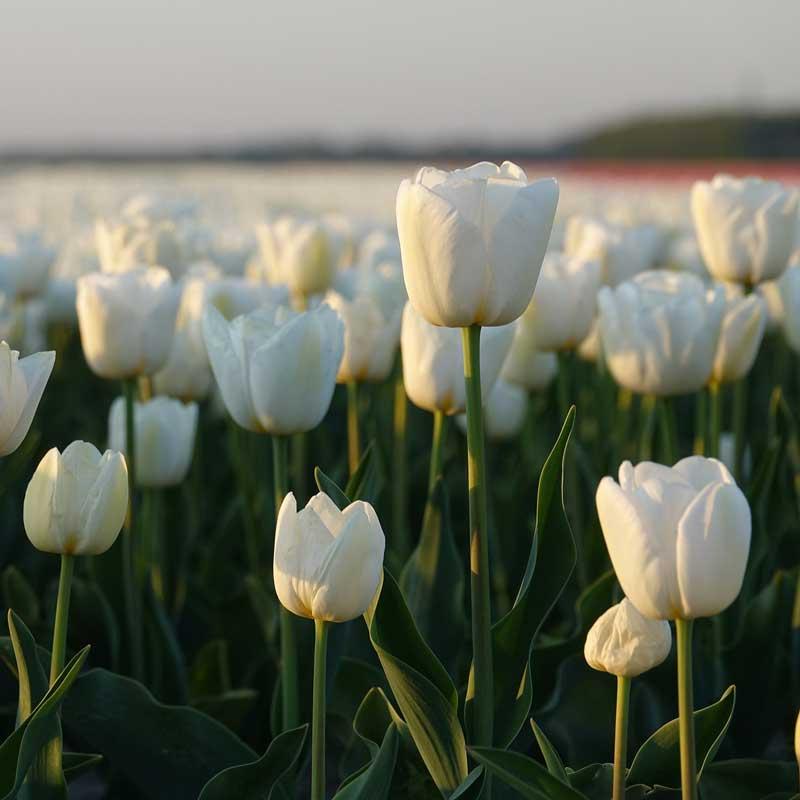 weiße tulpen sind sehr elegant.