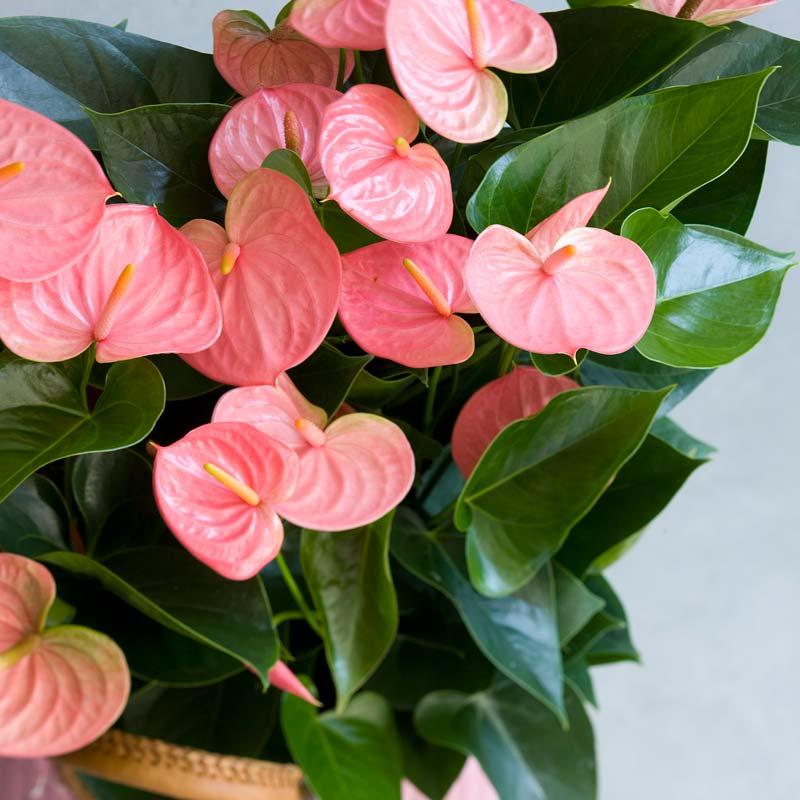 zimmerpflanzen-anthurie