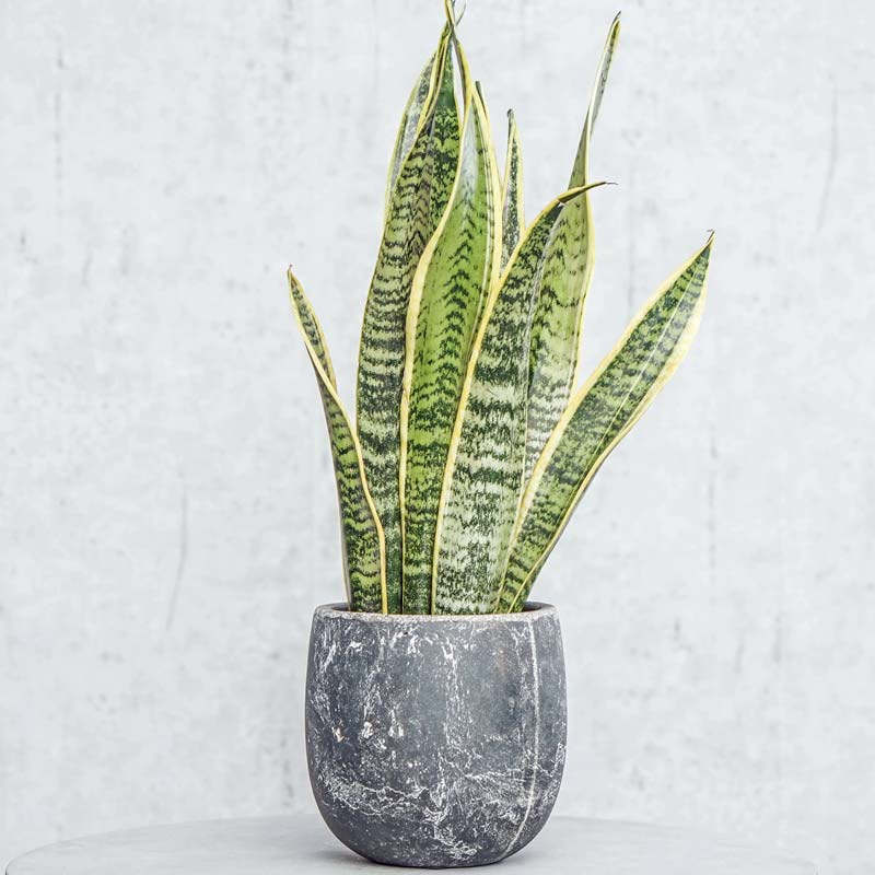 zimmerpflanzen-bogenhanf ist eine grünpflanze auch sanseveria genannt