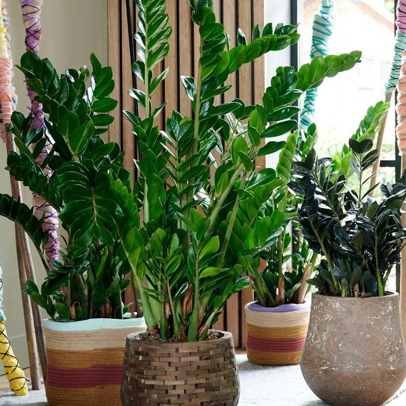 zimmerpflanzen-glücksfeder