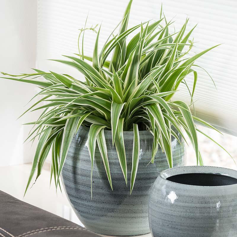 zimmerpflanzen-grünlilie