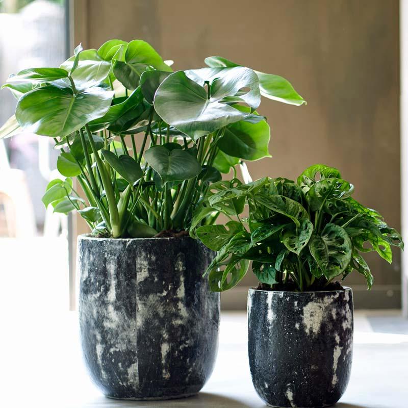 zimmerpflanzen-monstera Fensterblatt