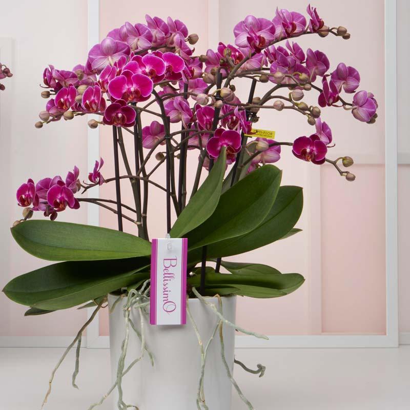 zimmerpflanzen-orchidee auch phalaenopsis genannt. Sehr blütenreich.