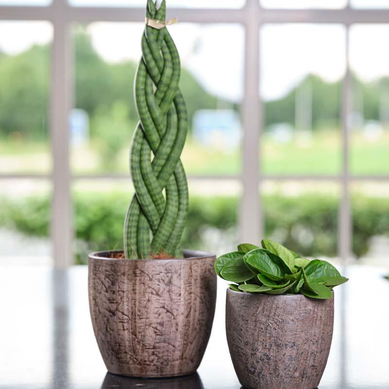 zimmerpflanzen-sukkulenten